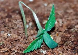 Hongos en el cultivo de marihuana