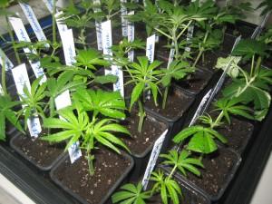 Seleccionar una planta madre