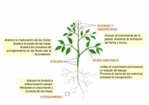 Las hormonas en las plantas